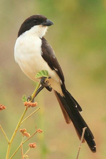 Long-tailed Fiscail - Lanius cabanisi