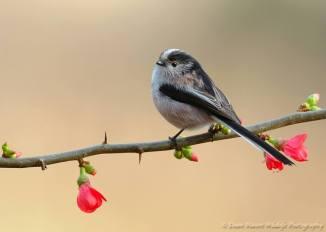 Long-tailed Tit - Aegithalos caudatus - by Dean Mason