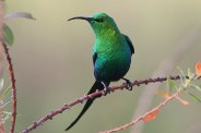 Malachite Sunbird - Nectarina famosa © by Artur Bujanowicz