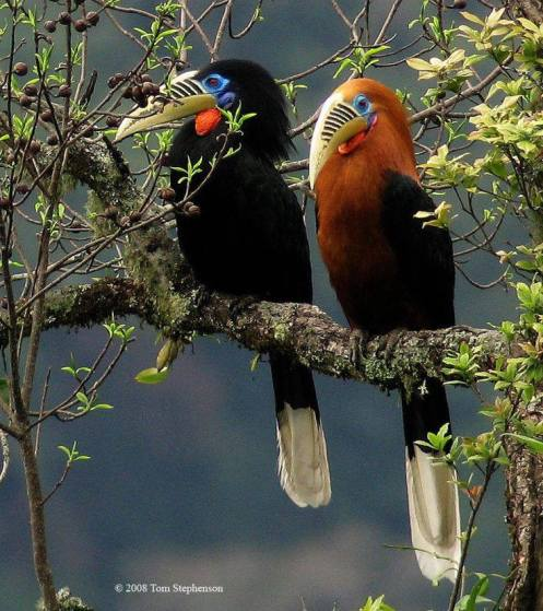 Male and female Rufous-necked Hornbill