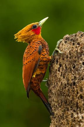 Male Chestnut-colored Woodpecker in Costa Rica by Bill Holsten.