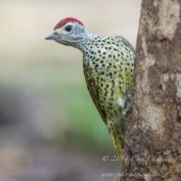 Male Green Backed Woodpecker.