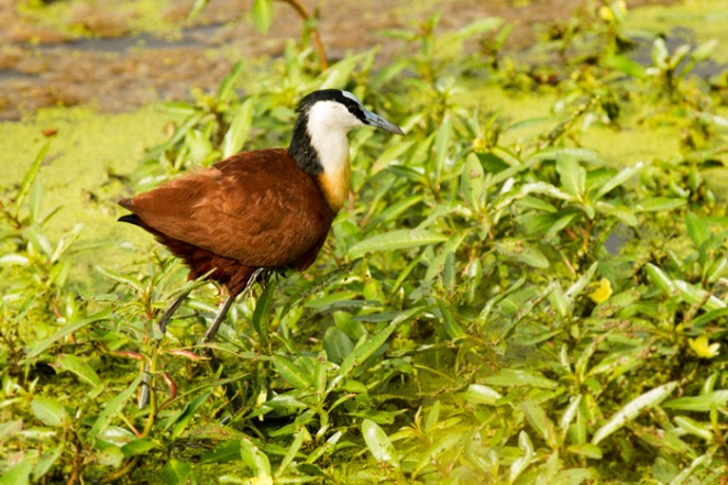 Male jacana with chick under right wing