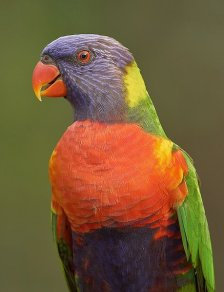 Male Rainbow Lorikeet - Trichoglossus haematodus - by Graeme Guy