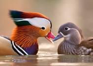 Mandarin Duck - Aix galericulata - couple by Stefano Ronchi