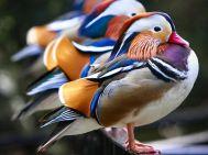 mandarin-ducks-