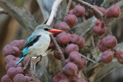 Mangrove Kingfisher - Halcyon senegaloides - The Flacks Photography