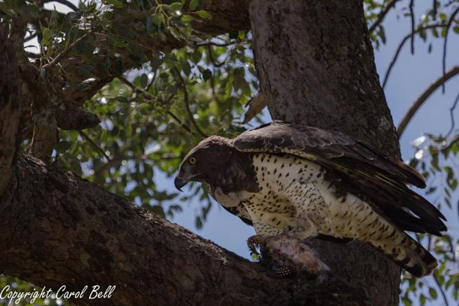 Martial Eagle by Carol Bell