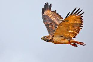 Martial Eagle, Kenya