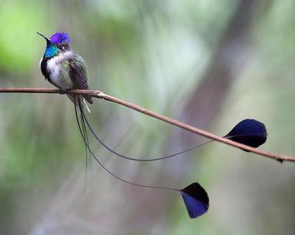 Marvellous Spatuletail Hummingbird