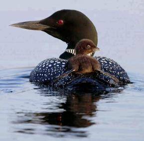 Mother Loon and chick - Patti Baker Trottier