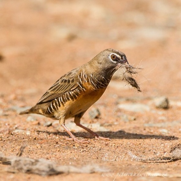Mozambique Birding - Male Quail Finch.