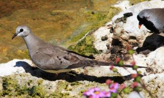Namaqua Dove (f)