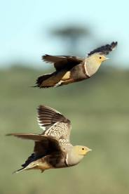 Namaqua Sandgrouse in flight (they are fast!) by Richard and Eileen Flack.