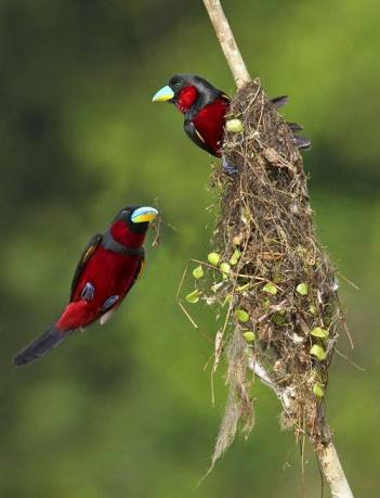 Nesting black and red broadbills