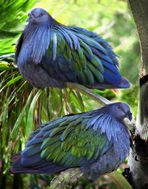 Nicobar Pigeons