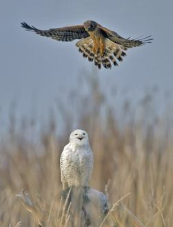northern harrier and snowy owl (photo by duke coonrad)