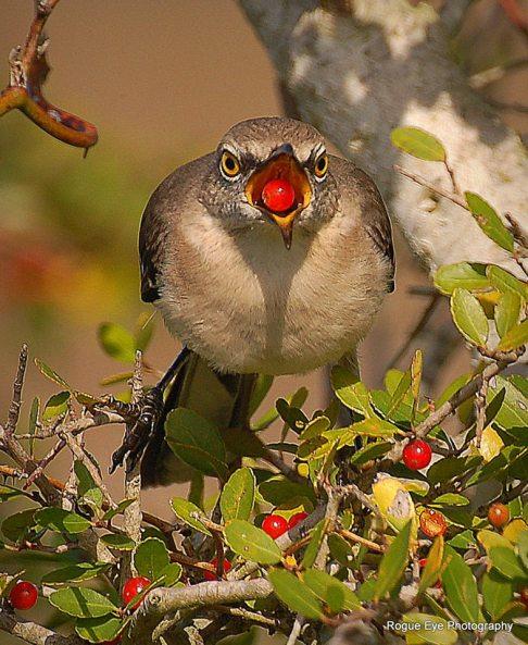 Northern Mockingbird taken by Leslie Trainor.