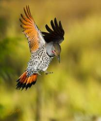 Northern Red Shafted Flicker - by Roy Hancliff