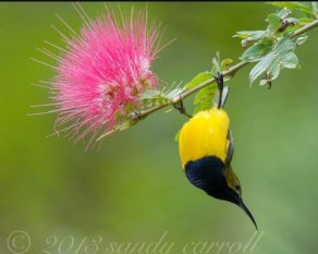 Olive Backed Sunbird - By Sandy Carroll