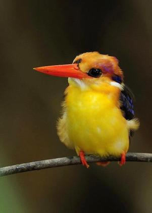 Oriental Dwarf Kingfisher - Discover Your World