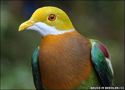Ornate Fruit Dove