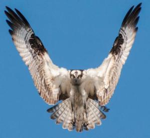 Osprey By Kristofer Rowe