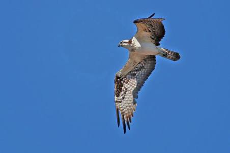 Osprey over the Pantanal Wetlands of Brazil