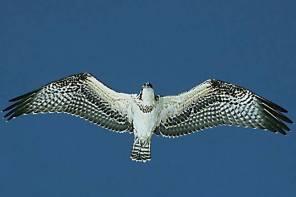 Osprey overhead on Sanibel Island