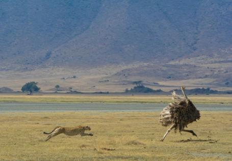 Ostrich on Ngorongoro Crater