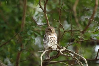 Owl in daylight
