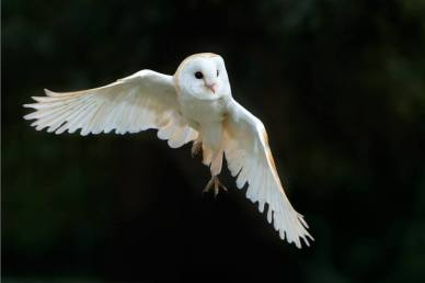 Owl in flight (2)