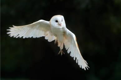 Owl in flight (2)