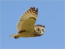 Owl in flight 2