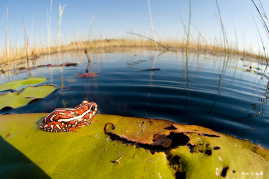 painted_reed_frog_RonMagill_550x365