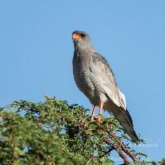 Pale Chanting Goshawk. Kgalagadi Transfrontier Park South Africa.