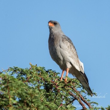 Pale Chanting Goshawk. Kgalagadi Transfrontier Park South Africa.