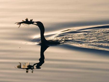 pantanal-cormorant_22667_990x742