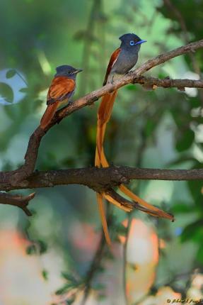 Paradise Flycatcher - Edward Peach Photography