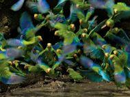 parakeets-yasuni-laman_62984_990x742
