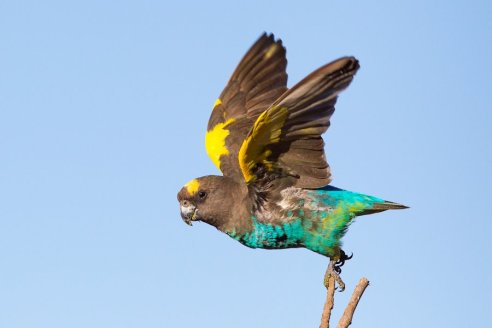 Parrot take off - Isak Pretorius Wildlife Photography