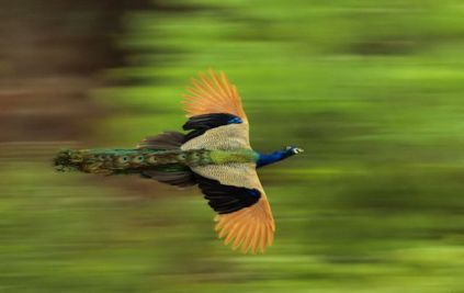 Peacock flying 2
