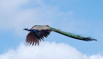 Peacock flying 3
