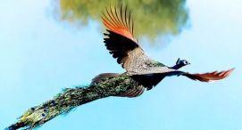 Peacock flying 4