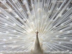 peacock-sarasota_17800_990x742