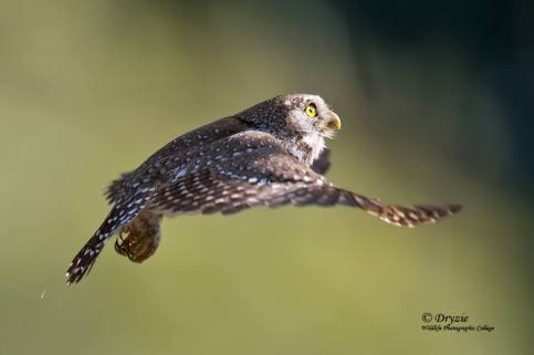 Pearl Spotted Owl in flight
