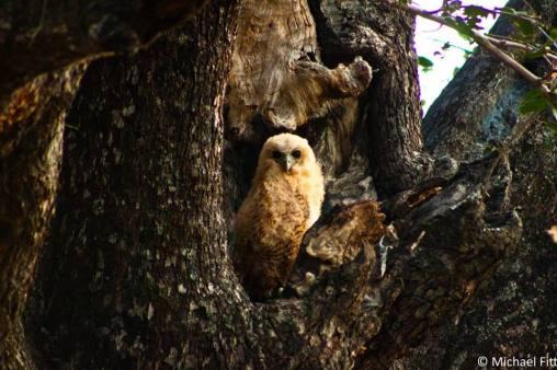 Pel's Fishing Owl (Juvenile)