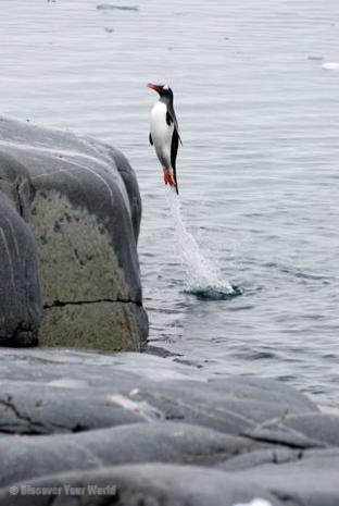 Penguin coming ashore