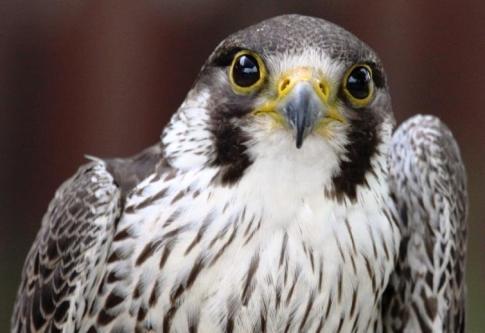 Peregrine Falcon (2)