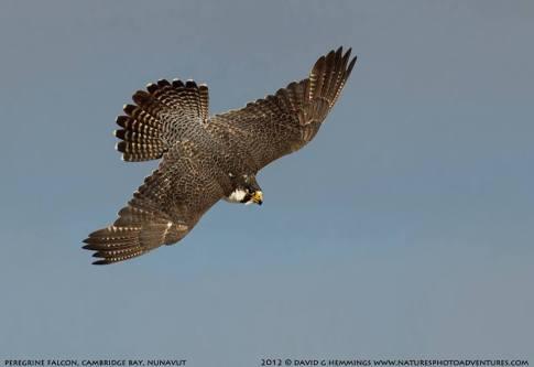 Peregrine Falcon (3)
